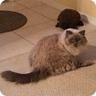 Ragdoll Cat for adoption in West Palm Beach, Florida - Tootsie