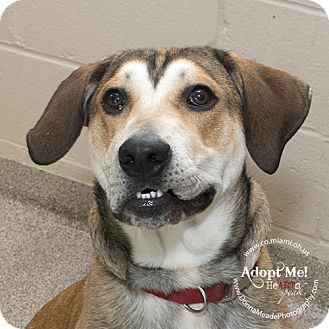 Husky/Beagle Mix Dog for adoption in Troy, Ohio - Buddy