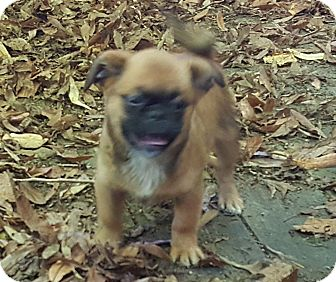 Pug Mix Puppy for adoption in Antioch, Illinois - Porkie- ADOPTION PENDING!!