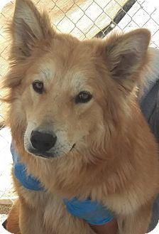 Golden Retriever/Collie Mix Dog for adoption in Las Vegas, Nevada - Sadie