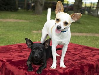 Chihuahua Dog for adoption in Santa Fe, Texas - Frida and Fanny--sweet bonded dolls-S