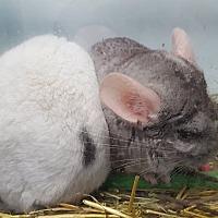 Adopt A Pet :: Chinchilla - North Pole, AK