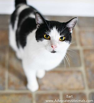Domestic Shorthair Cat for adoption in Xenia, Ohio - Bart