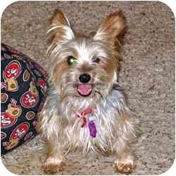 Yorkie, Yorkshire Terrier Mix Dog for adoption in Omaha, Nebraska - Tigger
