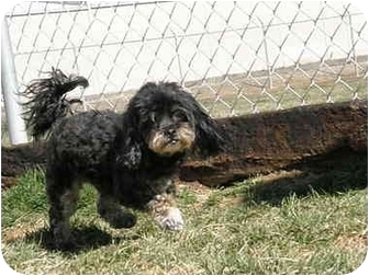 Yorkie, Yorkshire Terrier/Poodle (Miniature) Mix Dog for adoption in Meridian, Idaho - Molly