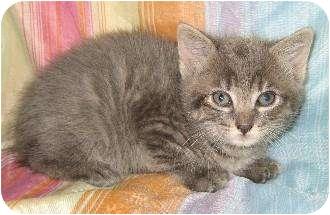 Domestic Shorthair Kitten for adoption in Schertz, Texas - Gracen