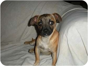 Shepherd (Unknown Type)/Pug Mix Puppy for adoption in Tustin, California - Costello
