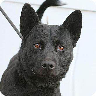 German Shepherd Dog Mix Dog for adoption in Springfield, Illinois - Murdock