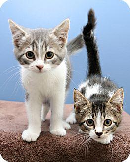 Domestic Shorthair Kitten for adoption in Bellingham, Washington - Trouble