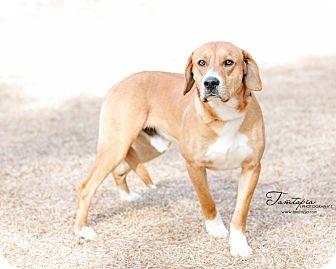 Hound (Unknown Type)/Labrador Retriever Mix Dog for adoption in Pinehurst, North Carolina - Almost Elvis