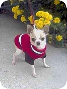 Chihuahua Dog for adoption in Harlan, Iowa - Chico