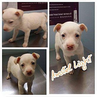 Labrador Retriever/American Pit Bull Terrier Mix Puppy for adoption in Garden City, Michigan - Amstel Light