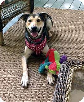 German Shepherd Dog/Terrier (Unknown Type, Medium) Mix Dog for adoption in Smithfield, North Carolina - Darcy