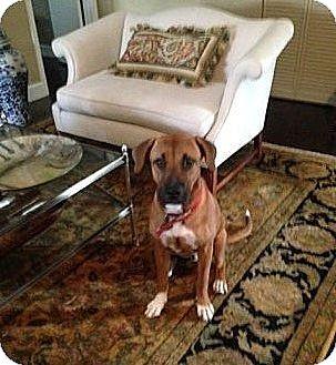 Great Dane/Rhodesian Ridgeback Mix Dog for adoption in CHAMPAIGN, Illinois - WINSTON