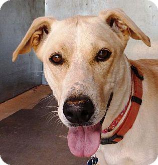 Labrador Retriever Mix Dog for adoption in Las Cruces, New Mexico - Lilly
