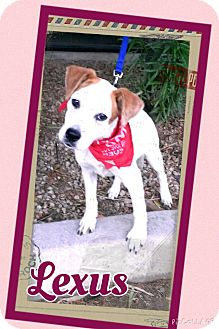 Australian Cattle Dog Mix Puppy for adoption in Apache Junction, Arizona - Lexus