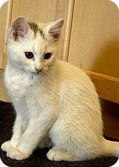 Domestic Shorthair Kitten for adoption in Edmonton, Alberta - Johnny