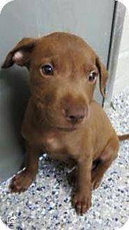 Labrador Retriever Mix Puppy for adoption in Barnegat, New Jersey - Houston