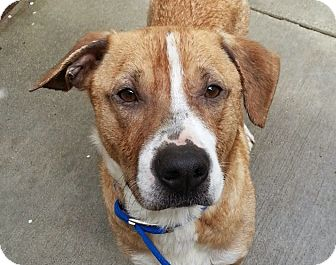 Boxer/Beagle Mix Dog for adoption in Chicago, Illinois - Kane*ADOPTED!*