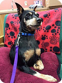 Miniature Pinscher Dog for adoption in Maryville, Missouri - Jetta