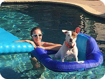 Pointer/American Staffordshire Terrier Mix Dog for adoption in Austin, Texas - Freya