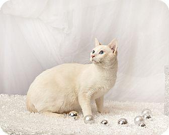Siamese Cat for adoption in Harrisonburg, Virginia - Ollie