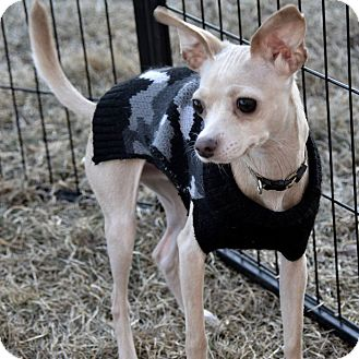 Italian Greyhound/Chihuahua Mix Dog for adoption in Meridian, Idaho - Nolan