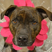 American Staffordshire Terrier Mix Dog for adoption in Lake Odessa, Michigan - Winifred