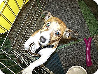 Jack Russell Terrier Mix Dog for adoption in Edmond, Oklahoma - Bella