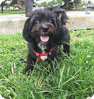 Shih Tzu/Maltese Mix Dog for adoption in Boca Raton, Florida - Rue