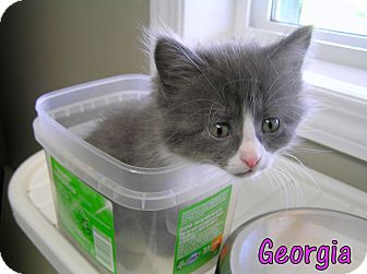 Domestic Shorthair Kitten for adoption in Creston, British Columbia - Georgia