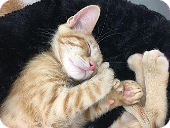 Domestic Shorthair Kitten for adoption in San Dimas, California - Orange Kittens