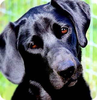 Labrador Retriever Dog for adoption in Winchester, Kentucky - OLIVER(A FAMILIES BEST FRIEND!