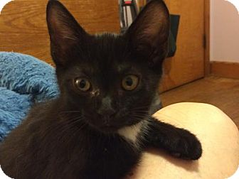 Domestic Shorthair Kitten for adoption in Wilmore, Kentucky - Mark