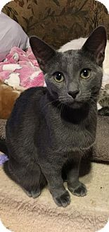 Russian Blue Cat for adoption in Houston, Texas - Lava
