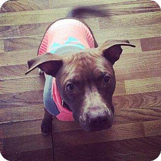 Labrador Retriever/Pit Bull Terrier Mix Dog for adoption in Fairview Heights, Illinois - Natasha