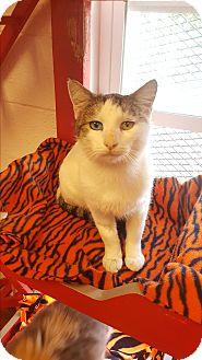 Domestic Shorthair Kitten for adoption in yuba city, California - Winston