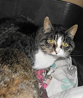 Calico Cat for adoption in Frenchburg, Kentucky - Imagene