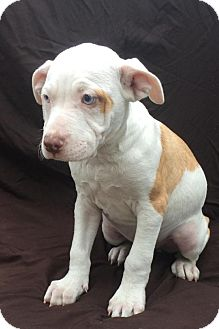 Labrador Retriever/Pit Bull Terrier Mix Puppy for adoption in East Sparta, Ohio - Gizmo