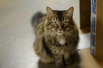 Domestic Longhair Cat for adoption in Atlanta, Georgia - Shannon  150501