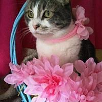 Domestic Shorthair Cat for adoption in Houston, Texas - Lena Alenka