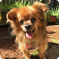 Pekingese Mix Dog for adoption in San Francisco, California - Remy