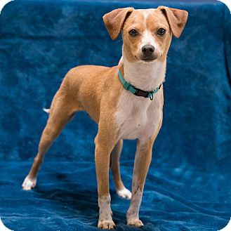 Terrier (Unknown Type, Small) Mix Dog for adoption in Houston, Texas - Jonah