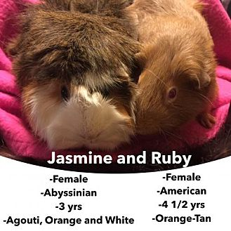 Guinea Pig for adoption in Walker, Louisiana - Jazmine and Ruby