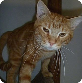 Domestic Shorthair Cat for adoption in Hamburg, New York - Marty