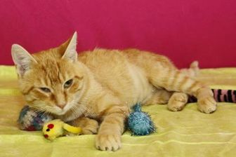 Domestic Shorthair/Domestic Shorthair Mix Cat for adoption in Bristol, Indiana - Ambrosia