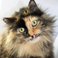 Domestic Longhair/Domestic Shorthair Mix Cat for adoption in Pendleton, Oregon - Rosey