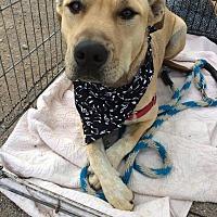 Catahoula Leopard Dog/Mixed Breed (Medium) Mix Dog for adoption in Iowa Park, Texas - Joplin
