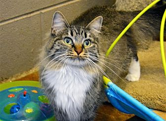 Domestic Shorthair Cat for adoption in Versailles, Kentucky - Fiona