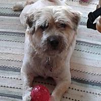 Adopt A Pet :: Bear in RI $50 - Providence, RI
